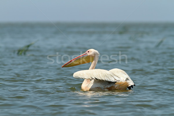 great pelican floating on blue water Stock photo © taviphoto