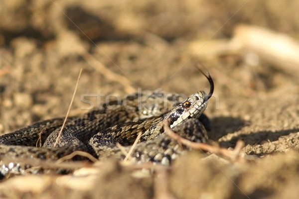 angry meadow viper Stock photo © taviphoto
