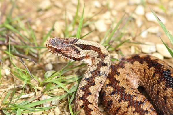 detail of european common crossed adder Stock photo © taviphoto