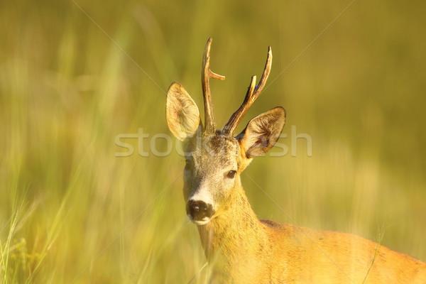ストックフォト: 肖像 · 鹿 · バック · 森林