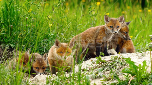 cute wild red fox cubs Stock photo © taviphoto