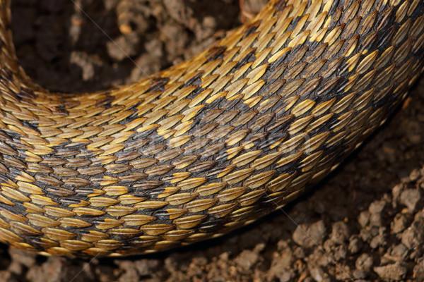 detail on skin of viper Stock photo © taviphoto
