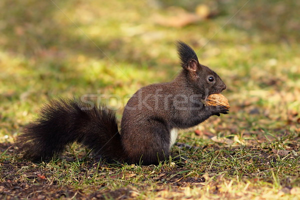 cute squirrel from the park Stock photo © taviphoto