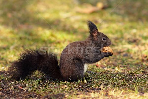 Cute eekhoorn park hongerig eten walnoot Stockfoto © taviphoto