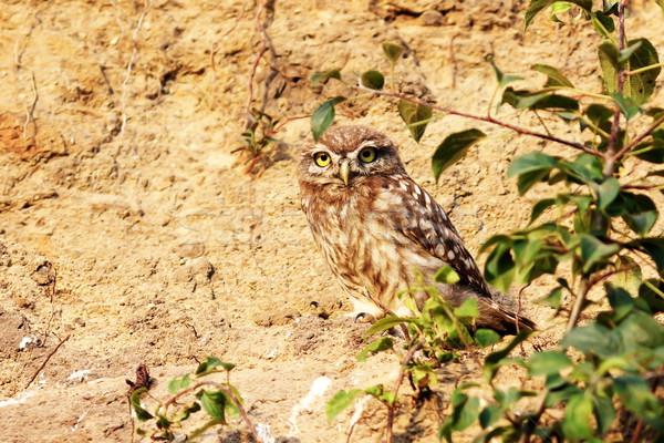 Jeugdig weinig uil nest oog ogen Stockfoto © taviphoto