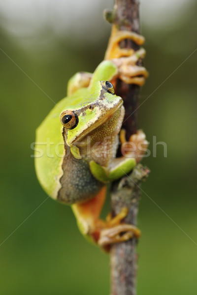 cute european green tree frog Stock photo © taviphoto