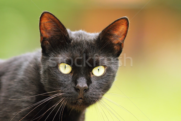 black cat portrait with big green eyes Stock photo © taviphoto