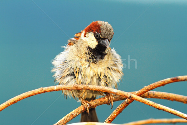 cute house sparrow male Stock photo © taviphoto