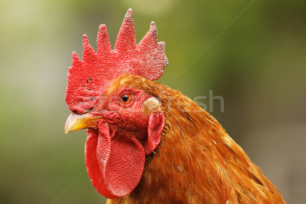 portrait of beautiful proud rooster Stock photo © taviphoto