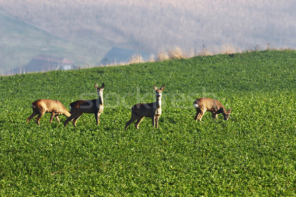 roe deers in the field  Stock photo © taviphoto