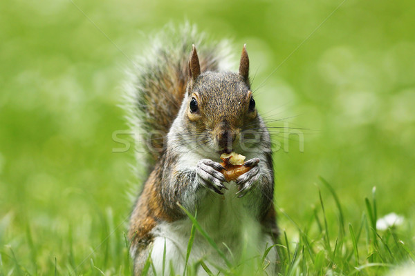 Stock photo: grey squirrel eating nut on lawn