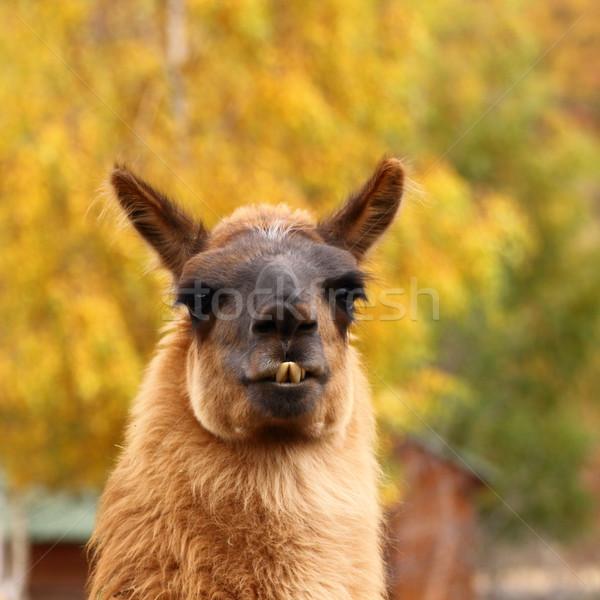 Lama najaar portret mooie gekleurd haren Stockfoto © taviphoto