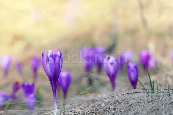 Violeta açafrão primavera jardim Foto stock © taviphoto