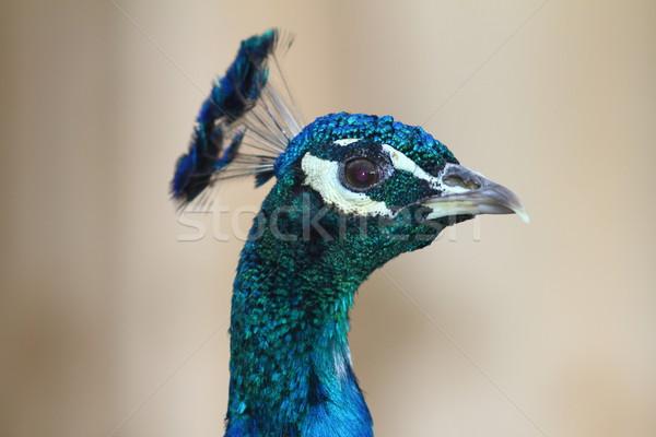 Kleurrijk pauw portret mannelijke bokeh natuur Stockfoto © taviphoto
