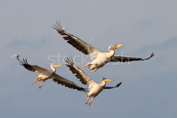 pelicans in flight Stock photo © taviphoto