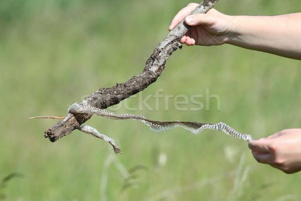 Biológus tart kígyó bőr mező kéz Stock fotó © taviphoto