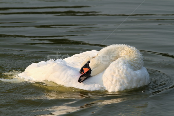 Belle sourdine cygne surface de l'eau bleu noir Photo stock © taviphoto