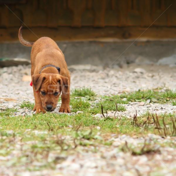 Jonge jachthond opleiding hongaars hond gelukkig Stockfoto © taviphoto