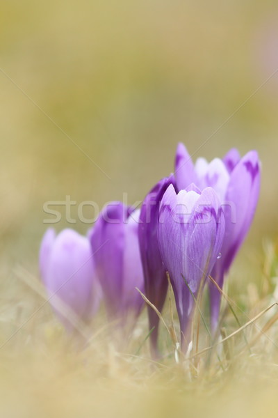 beautiful wild saffron crocus Stock photo © taviphoto