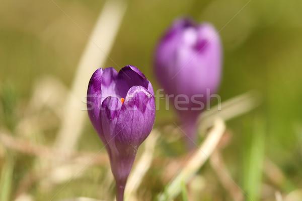 Primavera açafrão verde fora Foto stock © taviphoto