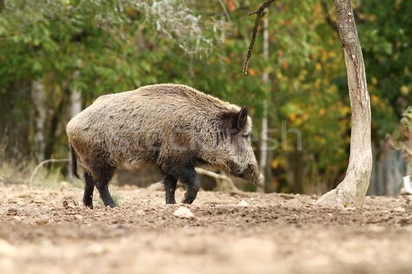 Groot wild mannetjesvarken lopen glade rustig Stockfoto © taviphoto