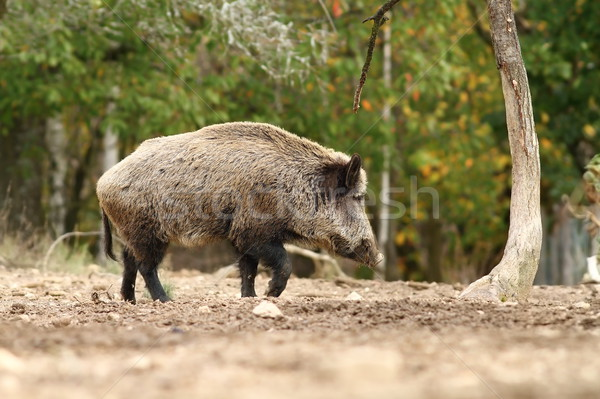 big wild boar walking in a glade Stock photo © taviphoto