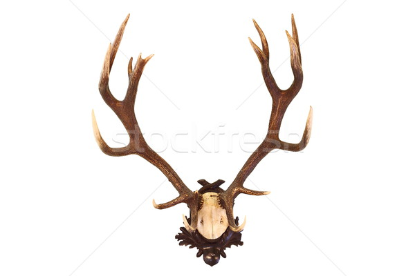 red deer buck isolated trophy Stock photo © taviphoto