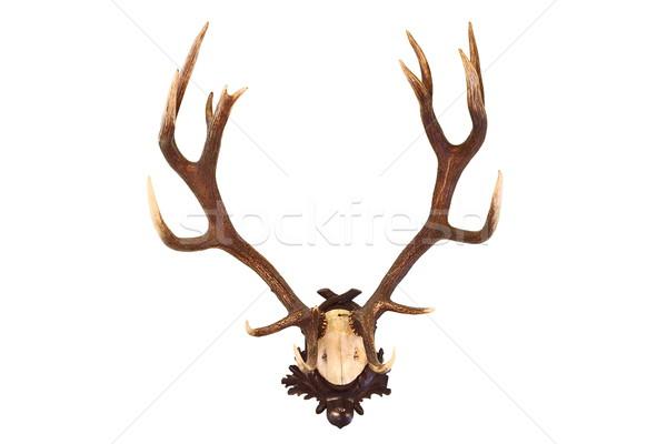 赤 鹿 バック 孤立した トロフィー 狩猟 ストックフォト © taviphoto