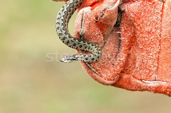 Giftig slang hand handschoen zeldzaam weide Stockfoto © taviphoto