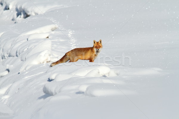 beautiful red fox in snow Stock photo © taviphoto