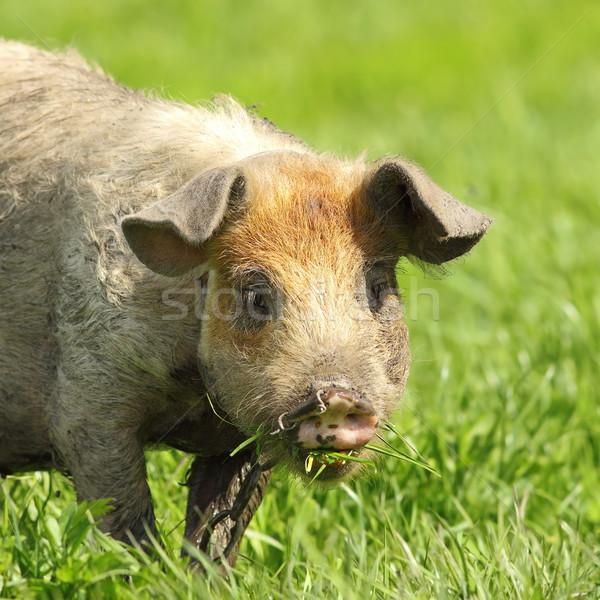 cute pig portrait Stock photo © taviphoto