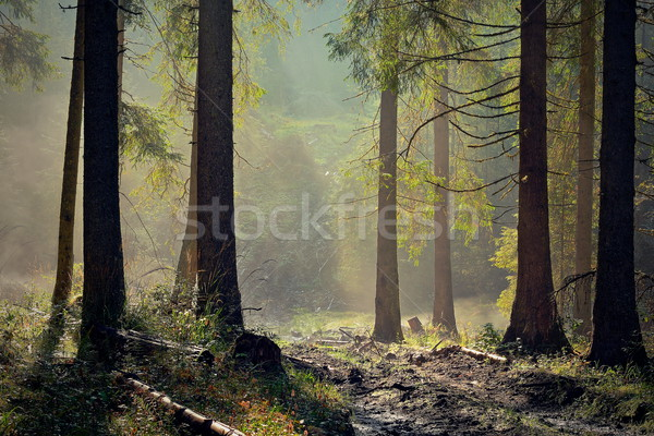 Stock photo: beautiful light in spruce forest