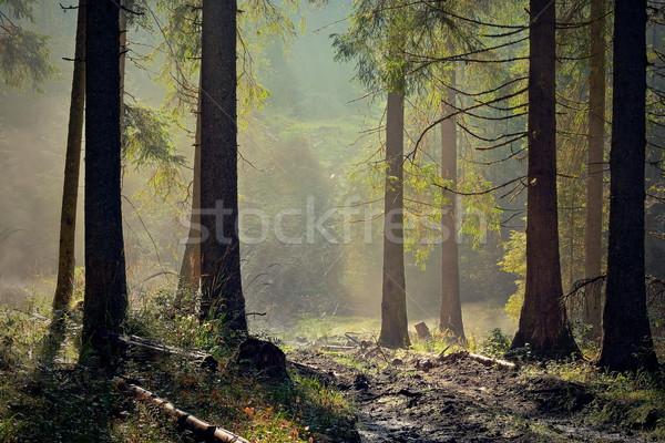 Belle lumière épinette forêt aube nature Photo stock © taviphoto