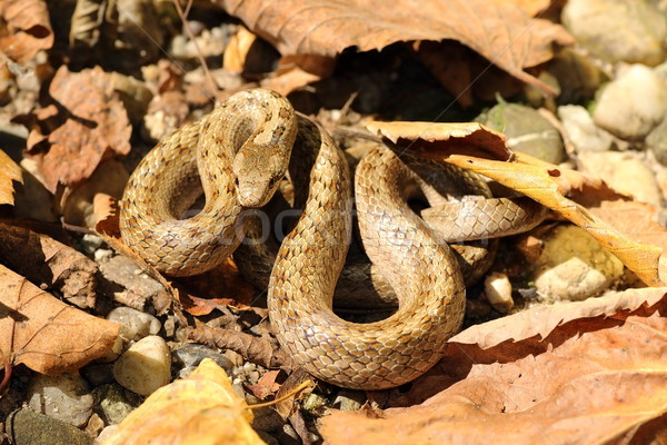 smooth snake camouflaged on forest ground Stock photo © taviphoto