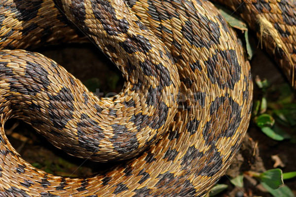 detail of curled meadow viper Stock photo © taviphoto
