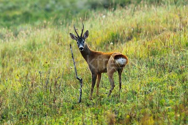 好奇心の強い 鹿 バック シーズン 見える ストックフォト © taviphoto