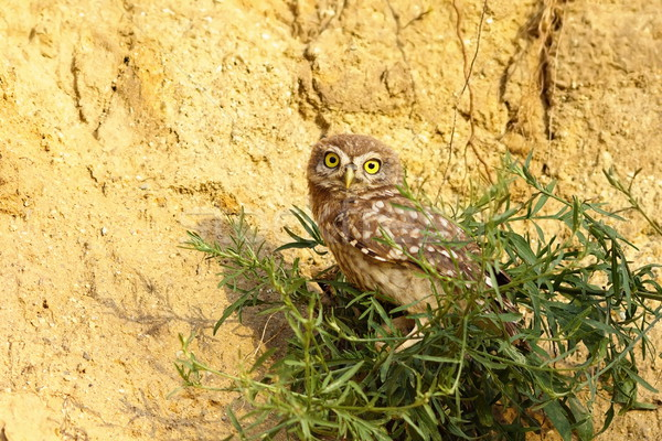 juvenile little owl Stock photo © taviphoto