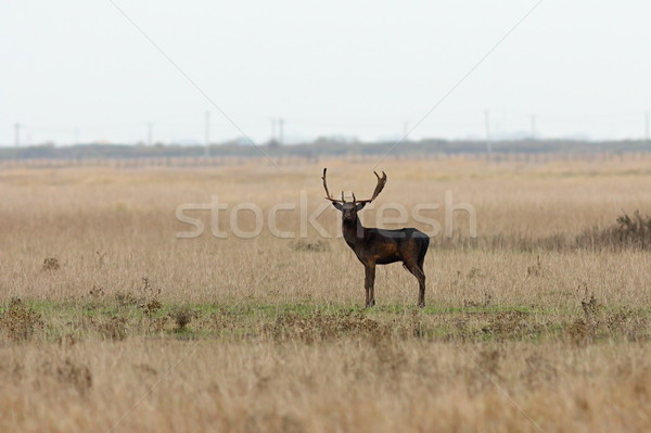 wild male fallow deer looking at the camera Stock photo © taviphoto