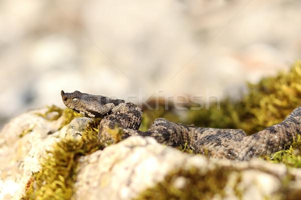 Europeo venenoso serpiente grande naturales habitat Foto stock © taviphoto