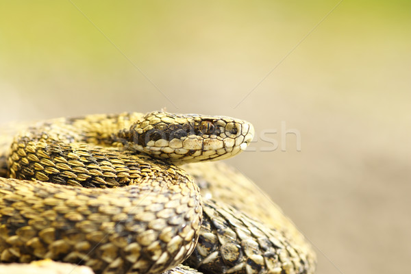 beautiful macro shot of meadow viper Stock photo © taviphoto