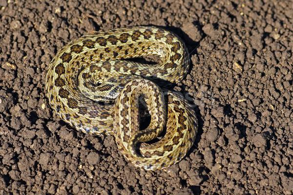 Prado terreno um snakes europa animais em extinção Foto stock © taviphoto