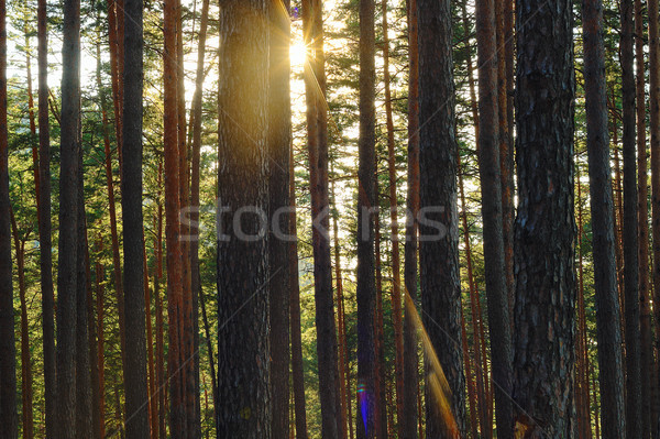 Hermosa amanecer pino forestales 50 Foto stock © taviphoto