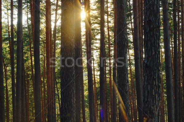 Mooie stralen dawn pine bos 50 Stockfoto © taviphoto