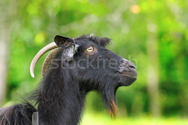 Fekete szakállas kos portré zöld ki Stock fotó © taviphoto