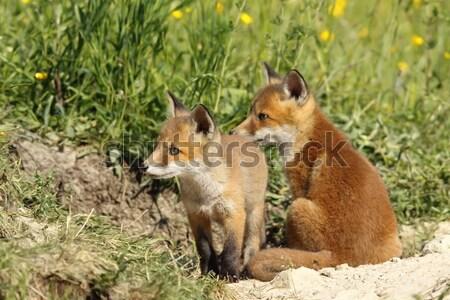 赤 キツネ 小さな 家族 ストックフォト © taviphoto