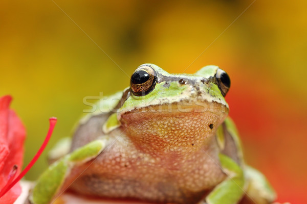 portrait of cute european tree frog Stock photo © taviphoto