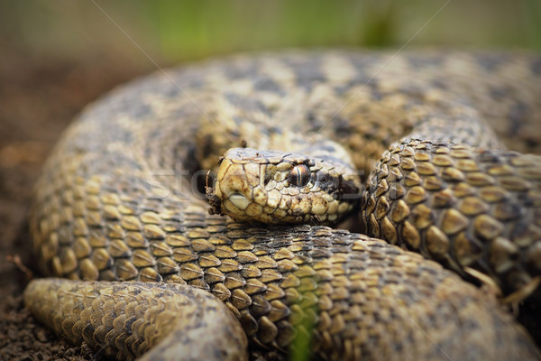 close up of Vipera ursinii rakosiensis Stock photo © taviphoto