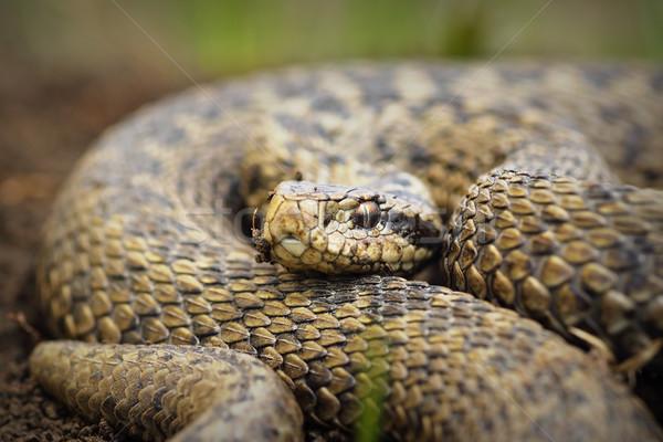 close up of Vipera ursinii rakosiensis Stock photo © taviphoto