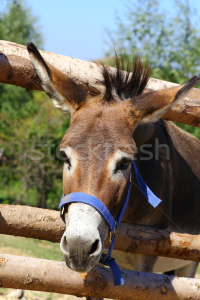funny donkey Stock photo © taviphoto