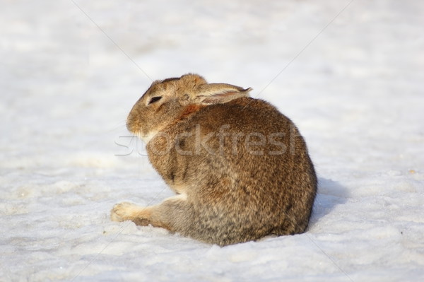 lazy fat rabbit Stock photo © taviphoto